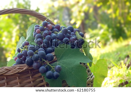 Freshly harvested grapes in the brushwood basket. - stock photo