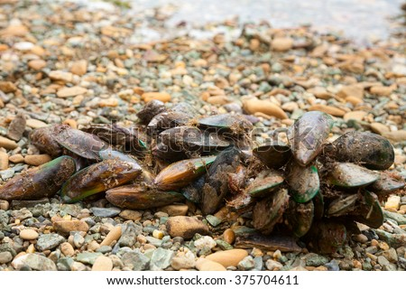 Freshly harvested New Zealand green-lipped mussels also known as the New Zealand mussel, the greenshell mussel, kuku, and kutai on a beach at Marlborough Sounds