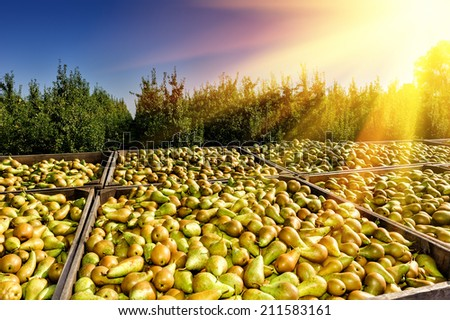 Freshly harvested pears in wooden crates - stock photo