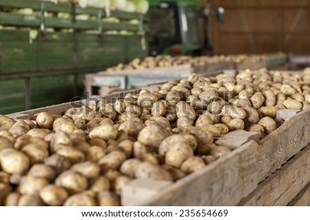Freshly harvested potatoes and cabbages standing in a barn on a farm in a trailer and wooden bins waiting to go to market for sale - stock photo