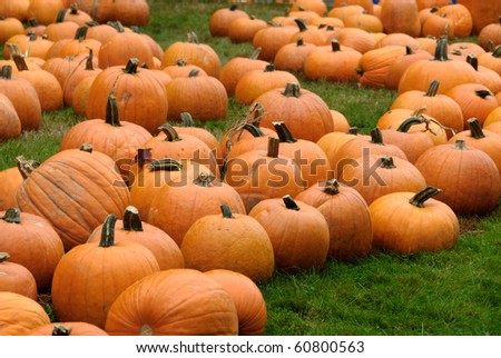 Freshly harvested pumpkins at a pumpkin patch - stock photo