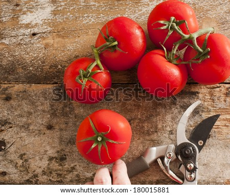 Freshly harvested ripe red grape tomatoes from the garden on the vine lying on an old wooden table with a man holding a pair of secateurs alongside, view from above - stock photo