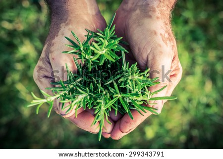 Freshly harvested rosemary in hands - stock photo