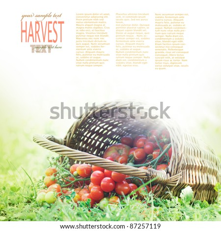 Freshly harvested tomatoes Large basket full of cherry tomatoes  lying in the summer grass. - stock photo