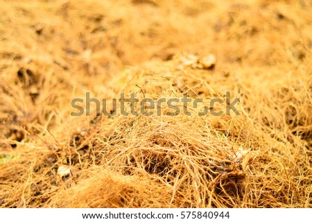 Freshly harvested Vetiver root known as vetiveria zizanioides