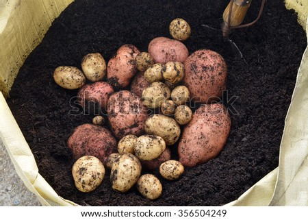 Freshly lifted unwashed organic red and white potatoes home grown in a garden from a grow bag in dark rich soil, showing a small shovel  - stock photo
