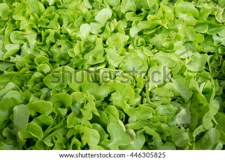 Freshly picked and cleaned green oak lettuce leaves in market - background - stock photo