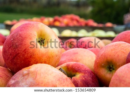 Freshly Picked Apples in crates. Detail. Shallow Depth of Field.  - stock photo