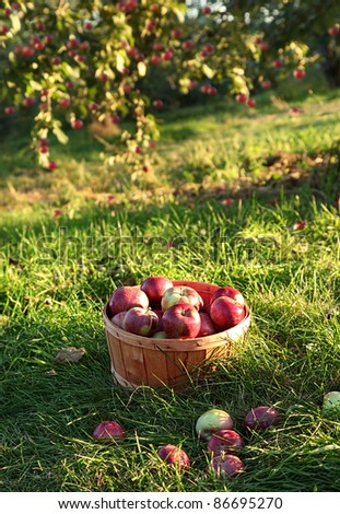 Freshly picked apples in the orchard in Autumn - stock photo