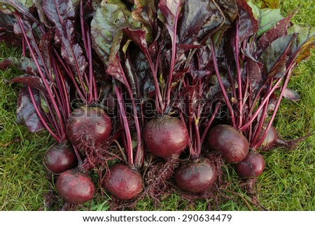 Freshly picked beetroot vegetables bunch - stock photo