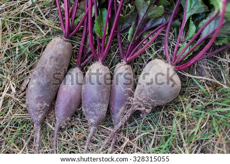 Freshly picked beetroot with green tops on the ground. Dirt is still on the plants. Organic vegetables at a local farm. - stock photo