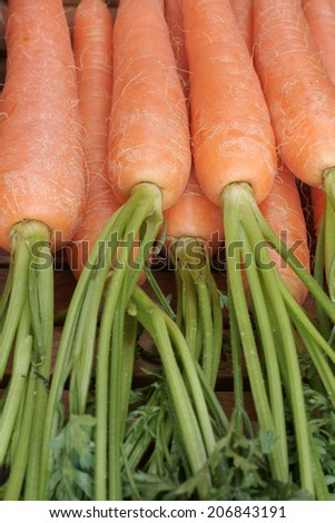 Freshly picked carrots with their tops  - stock photo