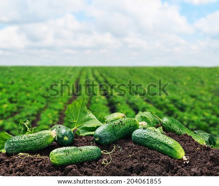 freshly picked cucumbers on the ground on a background of field - stock photo