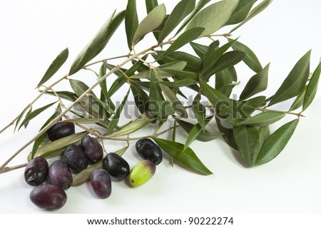Freshly picked olive branches with olive