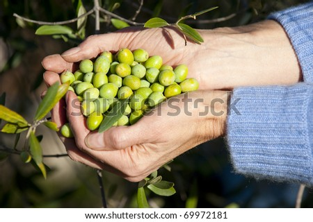 Freshly picked olives, California - stock photo