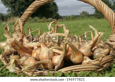 Freshly picked organic onions - stock photo