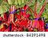 Freshly picked red swiss chard on display at the farmer's market - stock photo