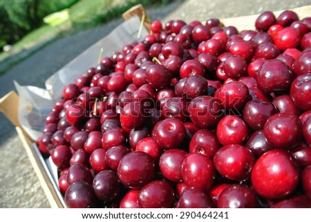 Freshly picked ripe red cherries in a wooden crate, in an orchard, on a sunny day. Concept of organic farming; fresh, natural, healthy, unprocessed fruit. Tilted view. - stock photo
