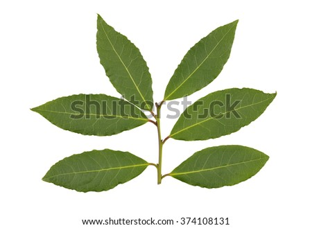 Freshly picked sprig of bay leaves or bay laurel leaves used in cooking to flavor food dishes. - stock photo