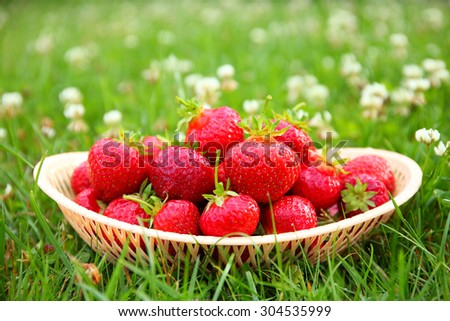 Freshly picked strawberries in a basket on a green grass in the yard