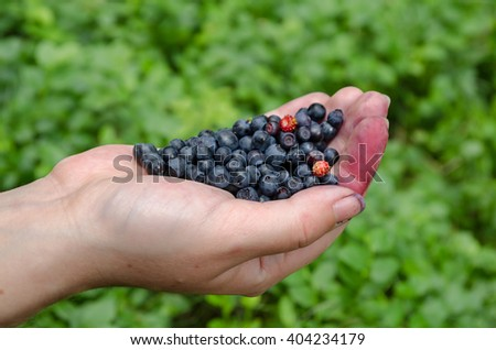 Freshly picked wild blueberries in the hands - stock photo