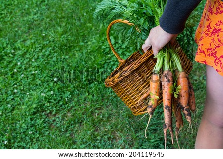 Freshly plucked organic carrots with wooden basket in woman hand - stock photo