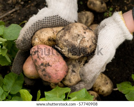 freshly potatoes in the hands of a man - stock photo