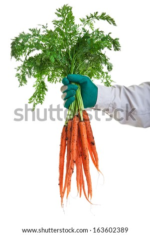 Freshly pulled carrots from the garden on a white background. - stock photo