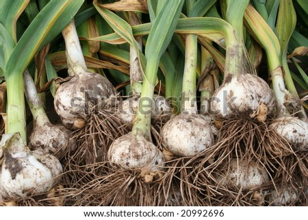 freshly pulled garlic from the garden - stock photo