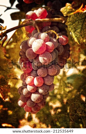 Freshly riped grapes in autumn on a grungy background - stock photo