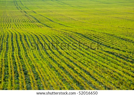 Freshly seeded field of corn - stock photo