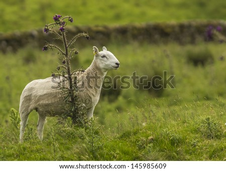 Freshly Sheared Sheep In Summer Pasture With Copy Space