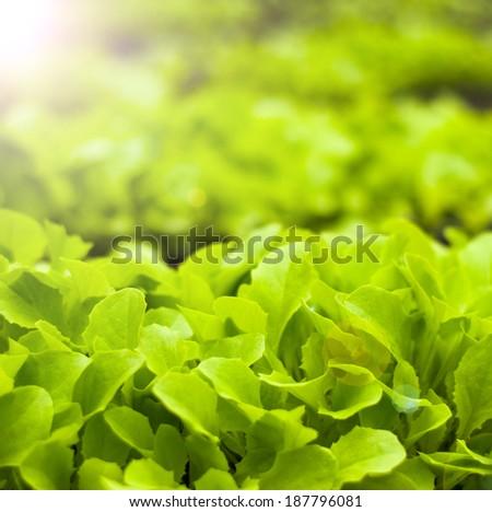 Freshness green lettuce  salad texture - stock photo