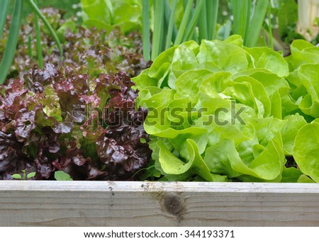 freshness lettuce green and red  in vegetable patch  - stock photo