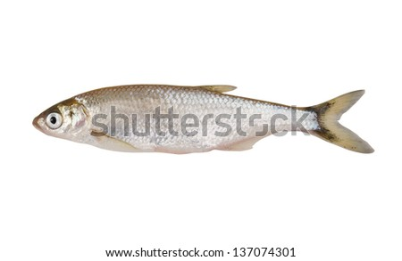 Freshwater bleak fish isolated on white background
