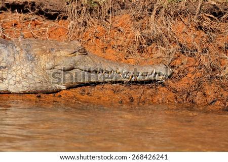 Freshwater crocodile (Crocodylus johnstoni), Kakadu National Park, Northern Territory, Australia - stock photo
