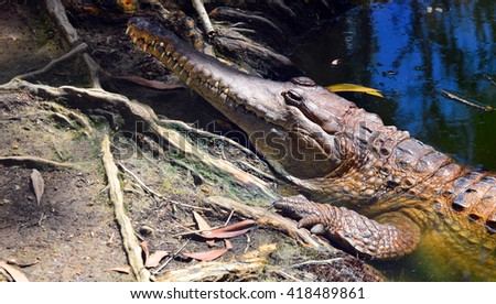 Freshwater crocodile face in a river bank in Queensland Australia