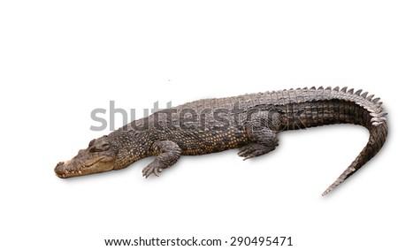 Freshwater crocodile isolated on white background, clipping path. - stock photo