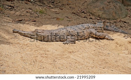 freshwater crocodile lying on sandy riverbank. room for text