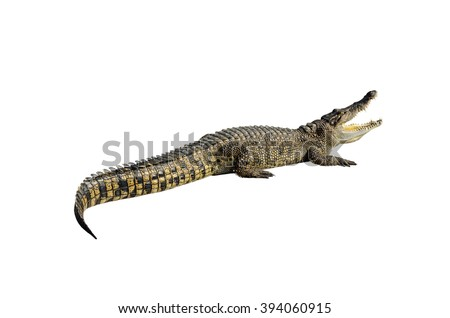 Freshwater crocodile, Siamese crocodile (Crocodylus siamensis) isolated on white background with clipping path. - stock photo