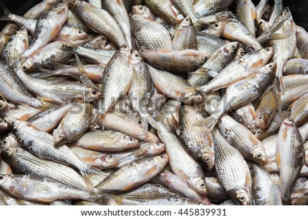freshwater fish  from natural - stock photo