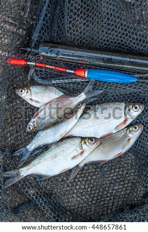 Freshwater fish just taken from the water. Fishing rod with float and fishing net as background. Catching fish - common bream, common roach, common bleak and silver bream or white bream. - stock photo