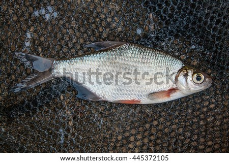 Freshwater fish just taken from the water. One silver bream or white bream fish on black fishing net. - stock photo