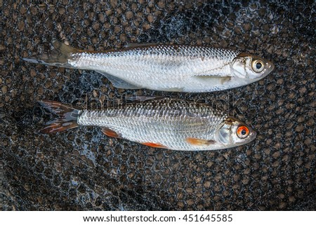 Freshwater fish just taken from the water. Several bleak fish, roach on the natural background. Catching fish - common roach, common bleak. - stock photo