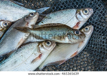 Freshwater fish just taken from the water. Several bream, roach, bleak fish and silver bream or white bream on green grass.
