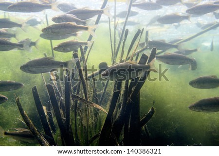 freshwater fish rivers and lakes of Europe - stock photo
