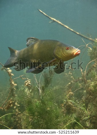 Freshwater fish Tench (tinca tinca) in the beautiful clean pound. Underwater shot in the lake. Wild life animal called Doctor fish. Tench in the nature habitat with green background. Live in the lake.