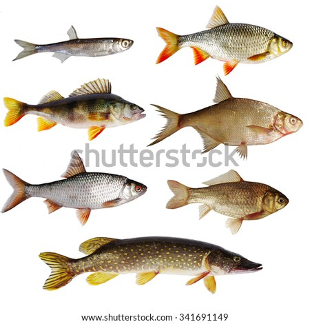 Freshwater fishes. Isolated on white. - stock photo