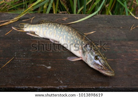 Esox stock images royalty free images vectors for Good freshwater fish