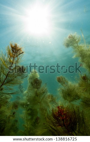 Freshwater Plants and baby fish underwater in lake of Serbia. / Below Freshwater - stock photo